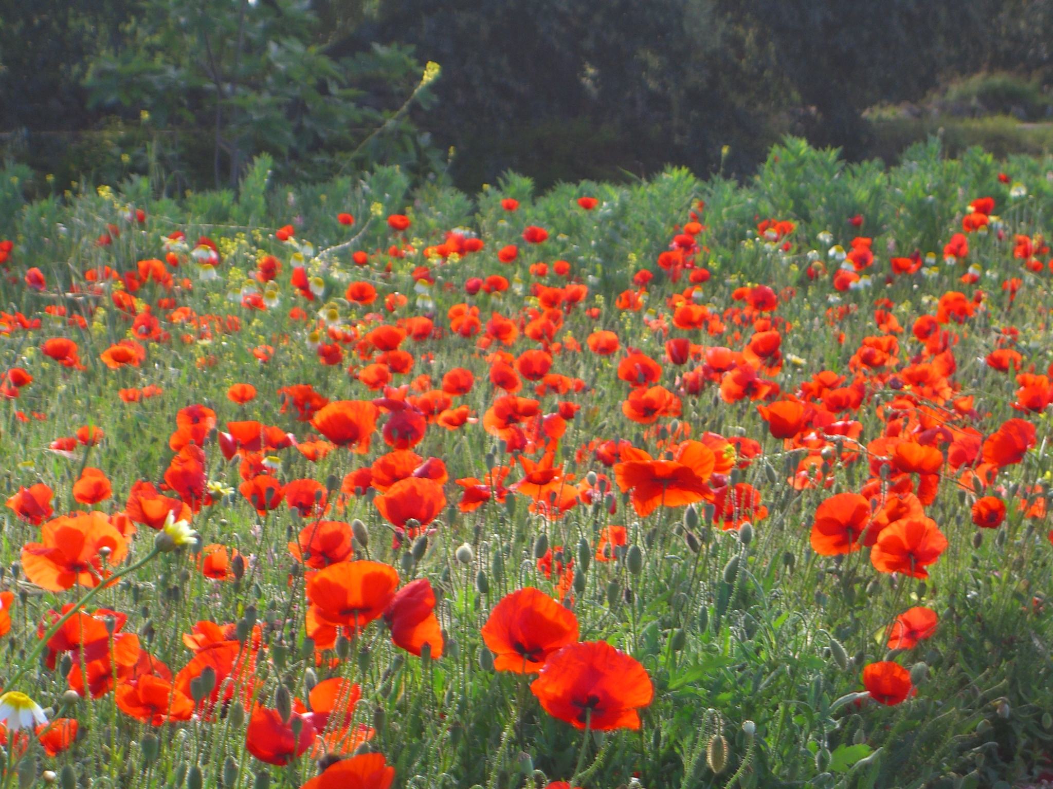 Real Poppies For Remembrance That Elusive Pair Of Jeans