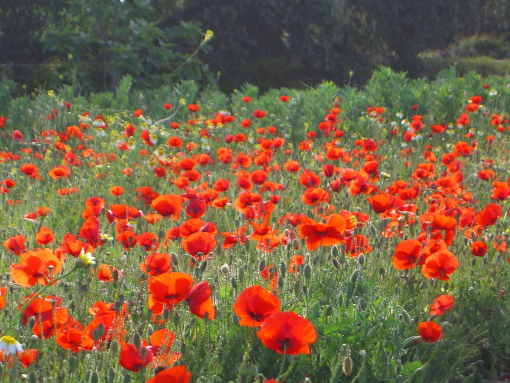 Real poppies for remembrance
