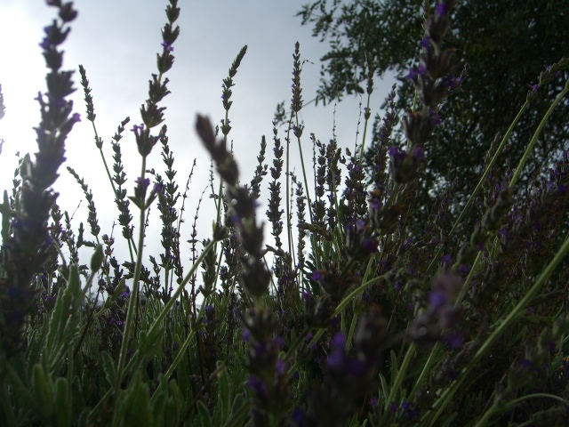 Lavender's not blue