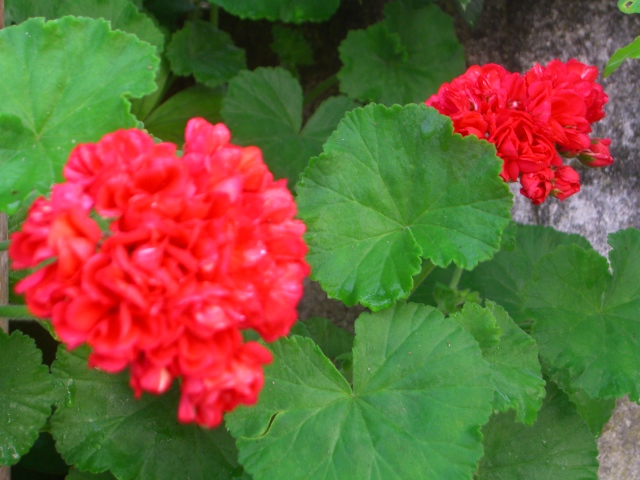 Geraniums are rumoured to keep snakes away.
