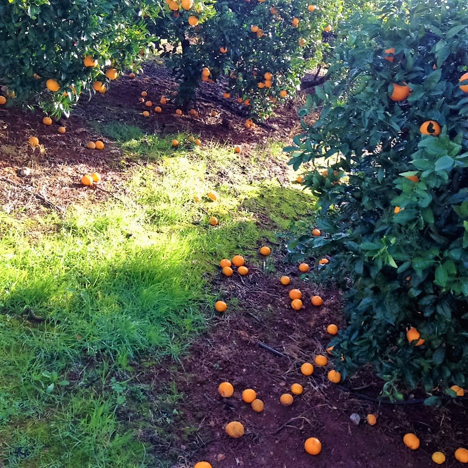oranges-the-morning-after-the-rain