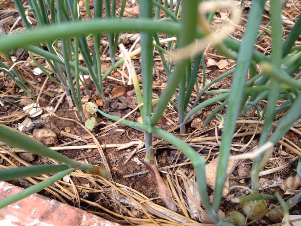 Little fallen onions